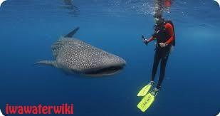 Diving di Pulau Menjangan Bersama Hiu